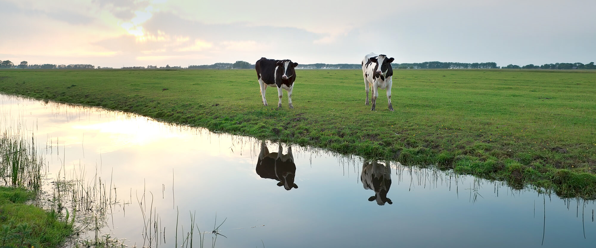River of Cows